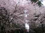 20100424sakura-11.jpg
