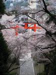 20100424sakura-12.jpg